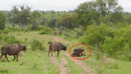 狮子捕食野牛,野牛冲上去把狮子撞飞,镜头拍下狮子翻车瞬间