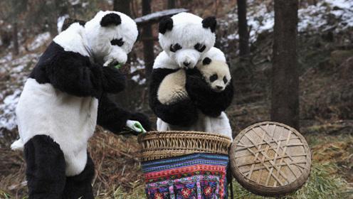 """为什么熊猫连""""铁""""都吃却不吃肉?竹子味道好?看完视频请别笑!"""