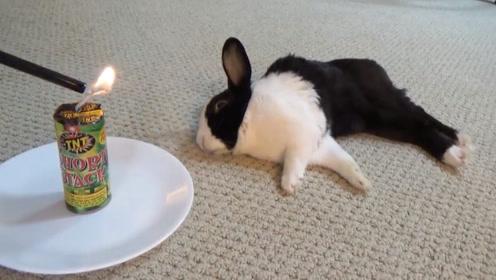 主人为了叫兔子起床,在它耳边点着了鞭炮,这家伙的反应令人意外