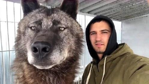 世界上最强大的狼,体型堪比小型轿车,轻而易举秒杀藏獒!