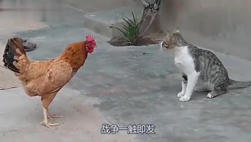 小猫咪胆子真大,竟然敢直接给公鸡一巴掌,网友:这是活腻了吧!