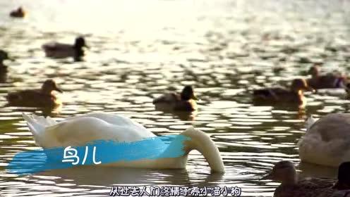 嘴巴最大的鸟,一口能吞下几十斤鱼,人类拿它也没办法