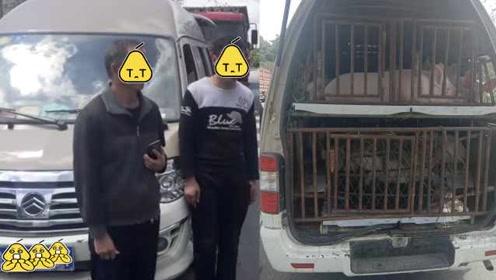 史上最强超载:5座客车竟装40头猪崽,臭味熏晕交警