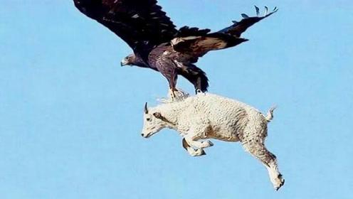 老鹰抓山羊,聪明的山羊直接往石头上撞,看到老鹰的模样让人心疼
