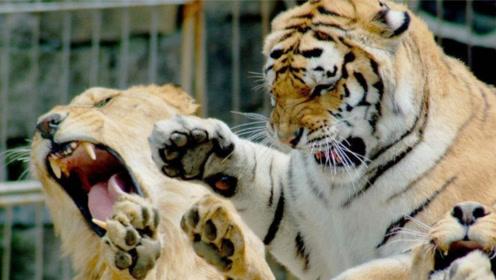 两只狮子和老虎住在一起,为了保护母狮子,雄狮男友力MAX