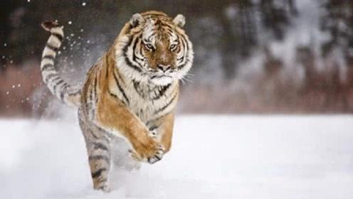 将东北虎放到非洲大草原,它们可以活多久?答案让人难以置信