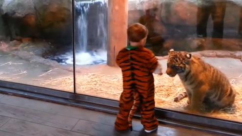 宝宝穿上老虎装去动物园,小老虎误将他当同伴,下一秒憋住不要笑