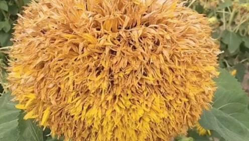 为什么众多正常的向日葵会有个这,长得像菊花一样!
