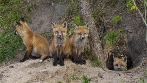 """人类墓穴附近,为何总能看到狐狸的身影?难道是""""成精""""了?"""