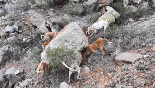 6只狗狗去打猎,石头边停住不愿意走,不一会挖出一个大宝贝