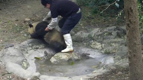 就算黑得像个炭头也绝不洗澡,熊猫:放开宝宝,宝宝还要挖煤呢