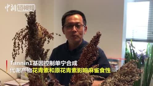 鸟也挑食!中国科学家揭晓麻雀选食不同高粱分子机制