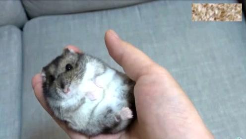 把仓鼠放在手里,任你随便揉捏,手感Q弹又柔软