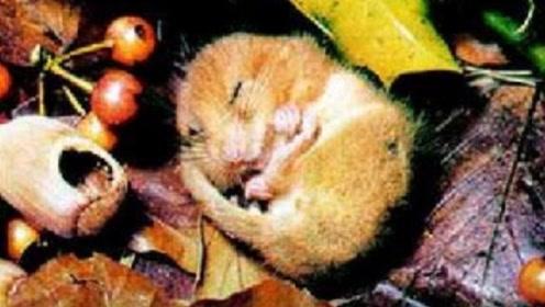 最惨的动物,五年生命有四年都在睡觉,睡过头就会被饿死