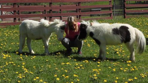 世界最小的马,身高只有38.1厘米,堪比一只中小型狗的大小!