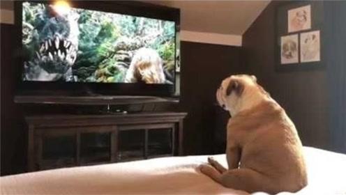 狗子迷上看电视,竟还能看懂剧情,场面让人捧腹!