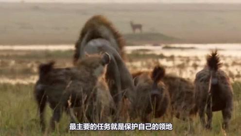 为什么狮子喜欢群居,还经常成群结队捕食猎物?看完视频涨知识!