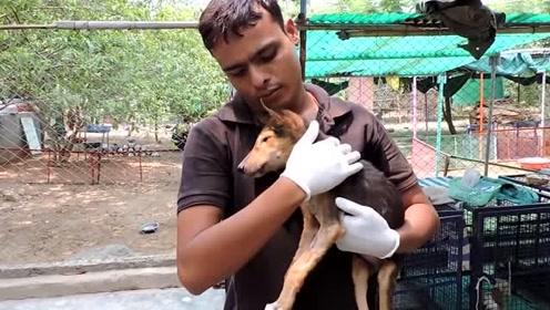 街头受伤的流浪小狗,在热心人的帮助下,能否转危为安?