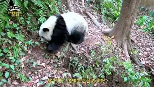 熊猫剧场:反正也赢不了,贡贡决定放弃梦想,在安静地方平衡自己