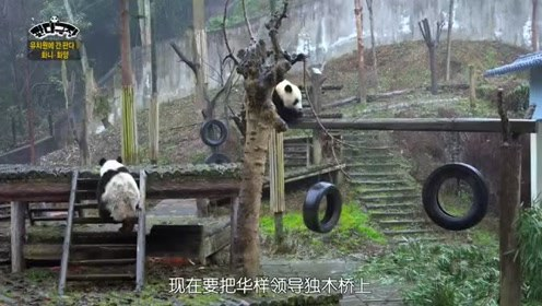 熊猫剧场:采取行动的华妮,在华样做标记重新做好标记,表示宣战