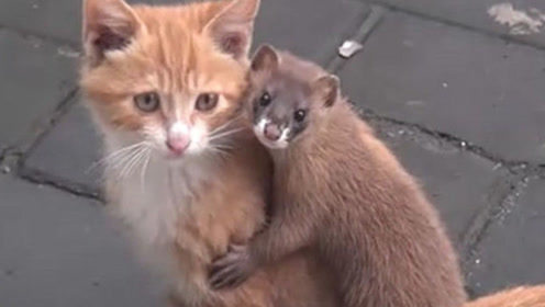 当黄鼠狼遇上猫咪,黄鼠狼瞬间变弱,被猫咪治的服服帖帖