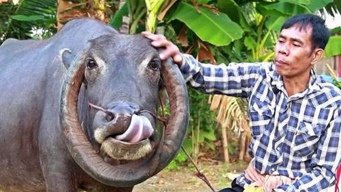 泰国变异水牛,牛角反向生长,土豪出25万欲购被拒!