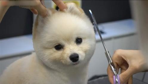 实拍专业宠物造型师给可爱小博美做造型,剪毛前后判若两狗!