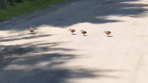 头一次见这种小鸟过马路,走一步颤两下,一家子都这样