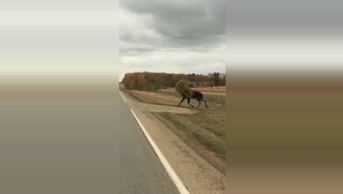 这是一只会过日子的加拿大驼鹿,随时顶着粮食满地跑