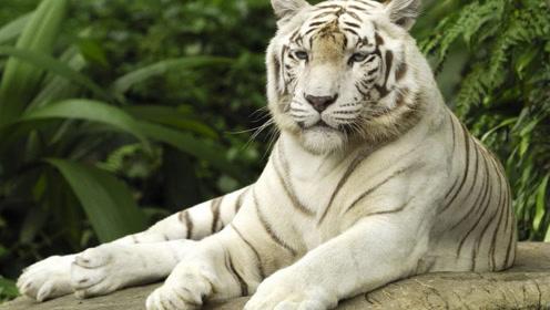 白虎对着男子就是一顿操作,撞倒玻璃墙上,还被男子反过来嘲笑!