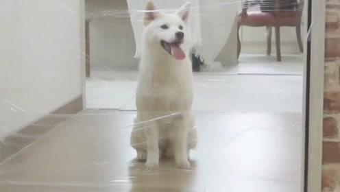 3条不同品种的狗狗,到底谁的智商高?有人专门做了个实验