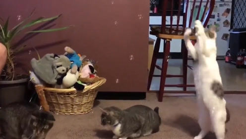 主人在家里吹泡泡,猫咪瞬间来了兴趣,下一秒憋住别笑