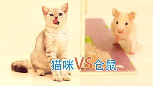 仓鼠为了打败猫咪,夺回主人的爱,竟然献出了最喜欢的东西