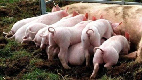 致富新方向?建生猪养殖场最高补助500万,网友:组团养猪去!