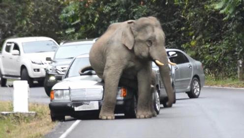 日系车和德系车差距有多大?一头大象坐上去后,瞬间看出来了!