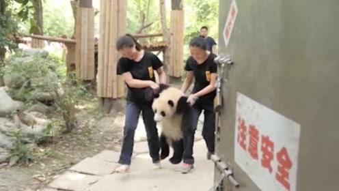 """会""""飞""""的大熊猫,可苦了奶妈们,熊猫:再让我""""飞""""一小会"""
