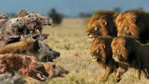 鬣狗正面对上狮子,究竟谁能赢?这才是强者之间的生死战斗!