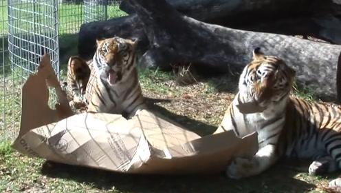 猫喜欢盒子,给这些大猫咪们些纸盒,没想到它们竟然爱不释手