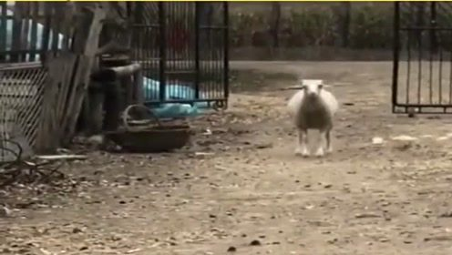 这羊可能有自己的想法,蹦出了与众不同的步伐,真优秀!