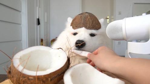 萨摩耶会喜欢椰子么?拿个椰子来试试