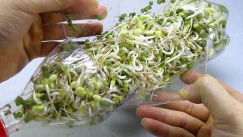 豆芽不用花钱买!一个塑料瓶就能种出来,无添加绿色健康无难度