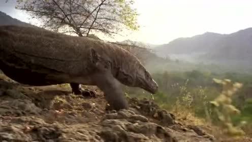 猎奇:捕食者科莫多巨蜥大战,非常精彩!