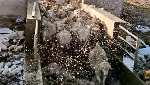 黄头羊一天洗了两次澡,如果天气好估计天天都想跑去洗,太爱干净了!