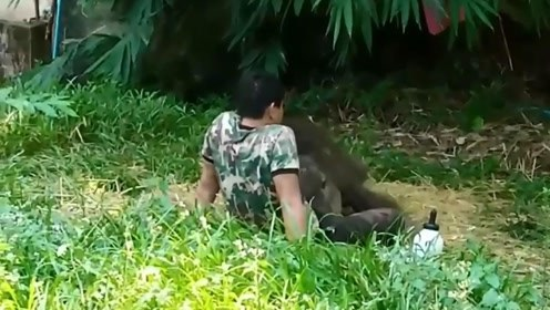 小象放归野外后遭象群抛弃 被救后 它蜷缩在饲养员腿上安然睡觉
