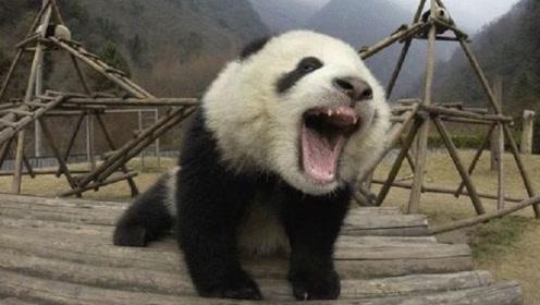 为什么狮子老虎不敢攻击大熊猫?熊猫的这个名字,你怕是没听过!
