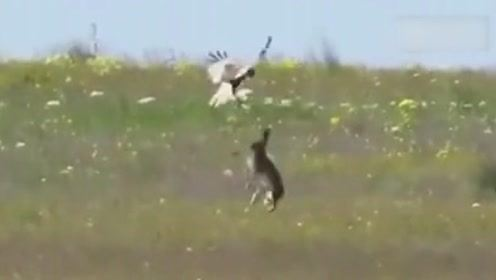 这兔子是被逼疯了吗?都开始学抓老鹰了,老鹰:我可能遇到只假兔子