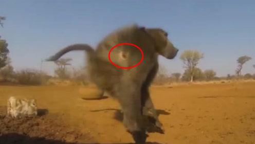 猎人残忍猎杀大猩猩,一箭刺穿猩猩身躯,血肉模糊场面太惨烈!