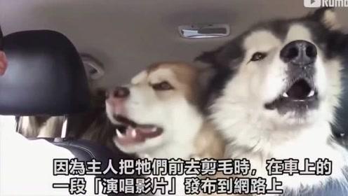 家里3只狗狗去剪毛突然开始激情三重唱 让人笑炸了