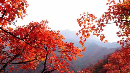 美成一幅画!吉林延边枫叶迎最佳观赏期,色彩斑斓层林尽染