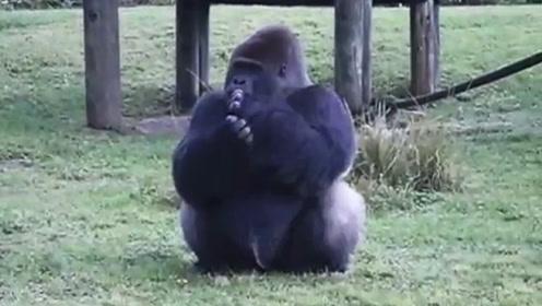 大猩猩用手语告诉游客,自己不能被喂食,这家伙简直太聪明了